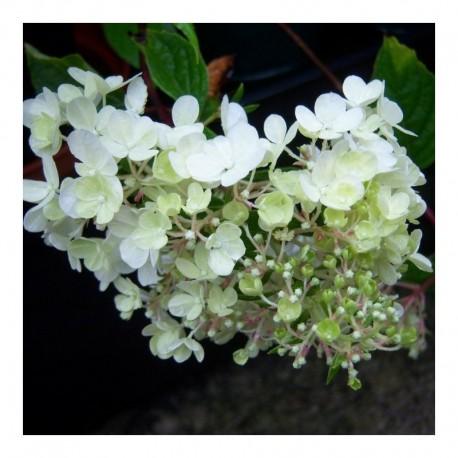 Fragrant White Flowers Jasmine Polyanthum in 9cm Pot 1 Jasmine